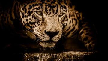 jaguar-2894706_1920
