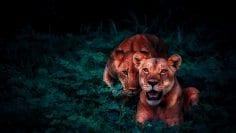 lions-2702828_1920